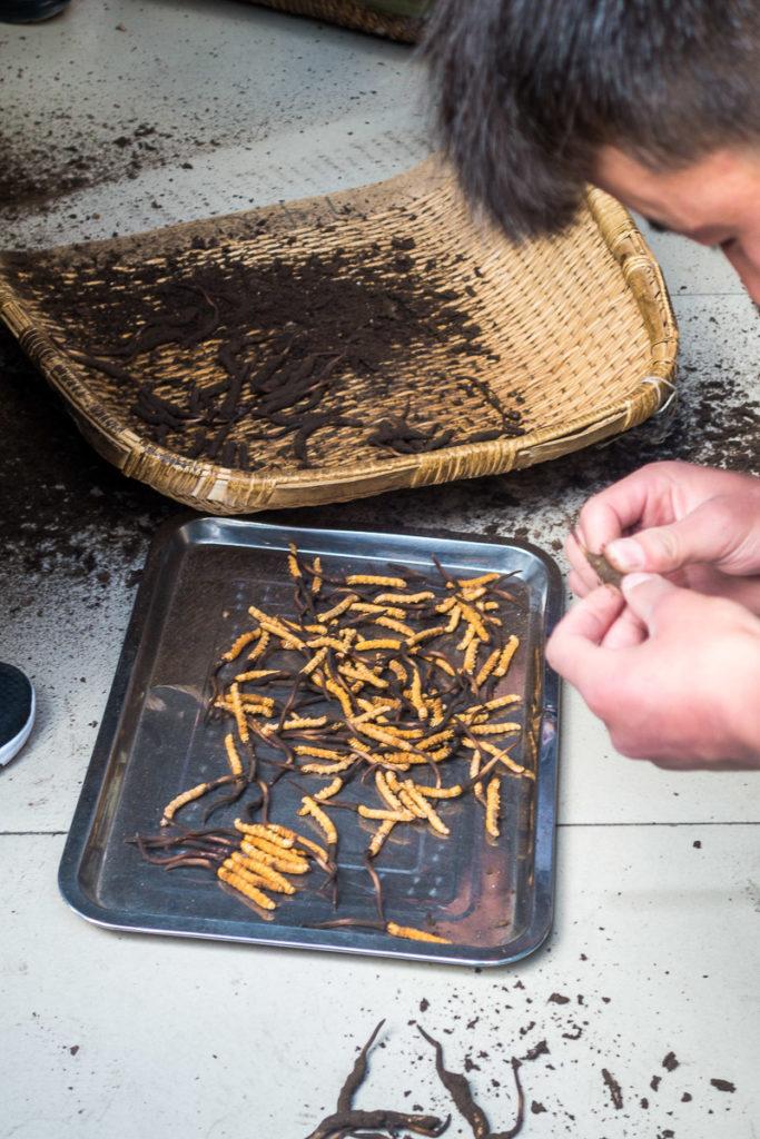 Die Raupen werden für den Verkauf bereit gemacht