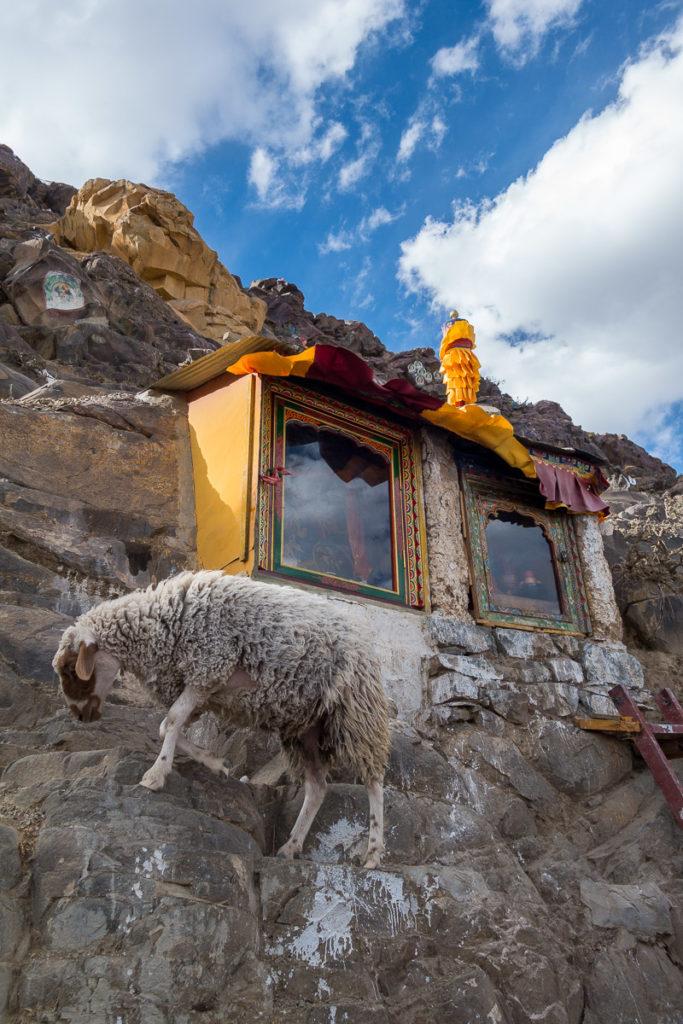 Ein buddhistisches Schaf macht ebenfalls die Kora