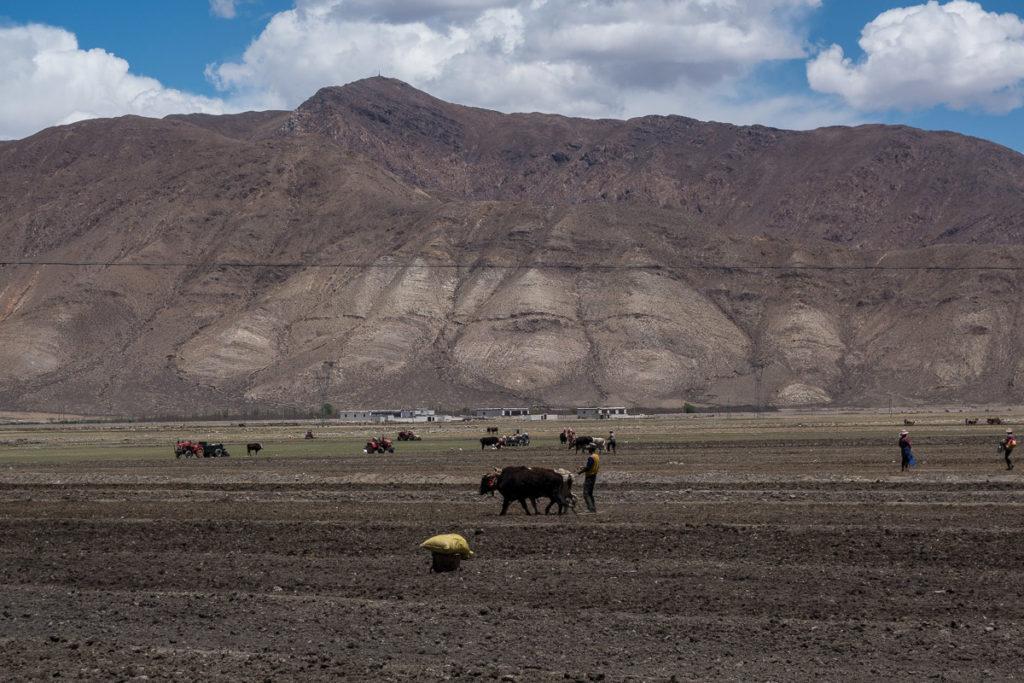Rinder werden als Zugtiere eingesetzt