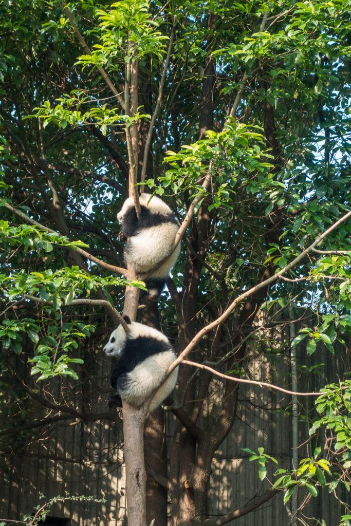 Junge Pandas am faulenzen in einem Baum